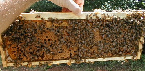 frame of honey bees with brood