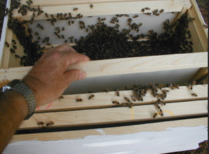 installing-packaged-bees-16