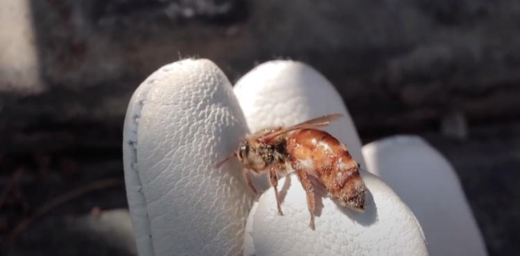 one queen honey bee